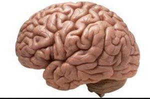 آیا داشتن مغز بزرگتر بهتر است؟!
