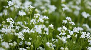گل مروارید عطری